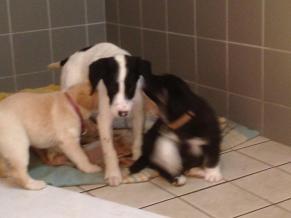 Tic et deux des chiots (Laika et Loustic). Tic attend d'être adopté