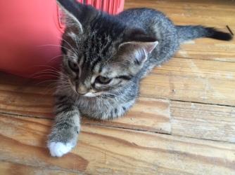 les chatons de Mia - juillet 2016- 10
