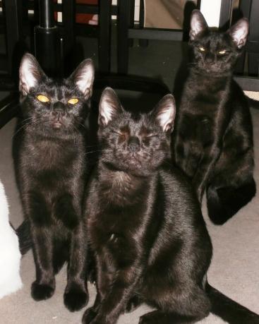 Les trois pelages noirs